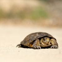 slow tortoise on the road feat